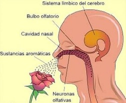 sistema limbico olfacto